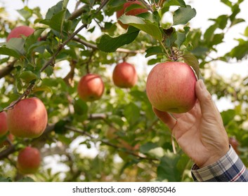 A hand holding an apple ready to pick under the apple tree