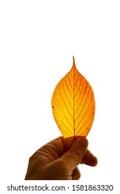 A hand holding beautiful colorful autumn leaf and leaf isolated on white background.