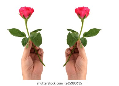 hand holding beautiful rose isolated on white