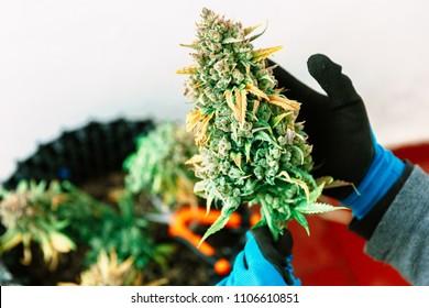 Hand Holding Big Cannabis Bud. Medical Marijuana