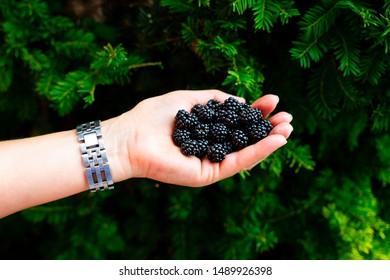 Hand holding blackberries, brambles in garden, green background