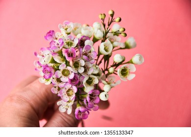 Hand holding blooming pink and white manuka tree flower bouquet against coral background. Ingredient for a healthy honey.