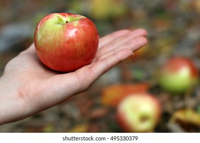 Hand Holding Bright Red And Green Honeycrisp Apple With Brightly Colored Yellow And Orange Fall Leaves In Background In The Mountains Of South West Virginia
