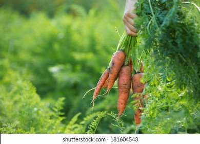 a hand holding a bunch of carrots straight from the garden patch