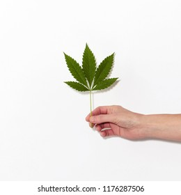 hand holding Cannabis leaf against white background