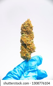 Hand holding cannabis nug with latex gloves isolated over white, medical cannabis lab testing concept