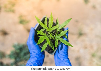 hand holding cannabis plant  with wooden background.