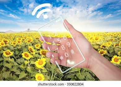 Hand holding cell phone with wi-fi at field sunflower.
