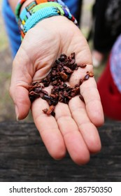 Hand holding cocoa nibs in Grenada