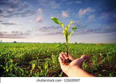 Hand holding a corn plant / corn plant