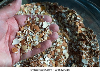 A hand holding crushed eggshells. The shells have been baked, then crushed. Crushed eggshells have a variety of uses. Concepts of nutrition, farming, gardening
