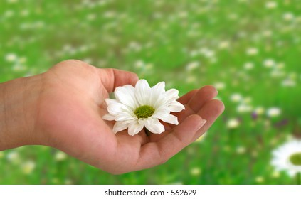 Hand holding a daisy above a daisies field.