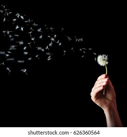 Hand holding dandelion with the seeds blowing in the air, on black background