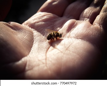 Hand is holding a dead bee as a concept of the problem of dying bees around the world.