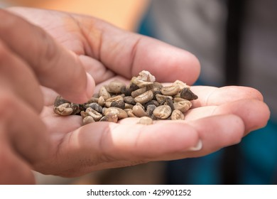 Hand holding dried coffee beans