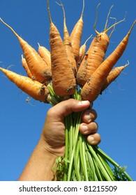 hand holding fresh carrots bundle