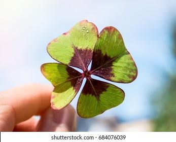 Hand holding Fresh Four Leaf clover against blue sky