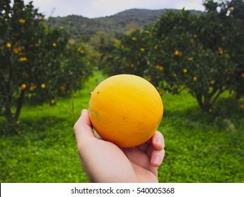Mano sosteniendo una naranja fresca en un huerto. Antecedentes agrícolas.