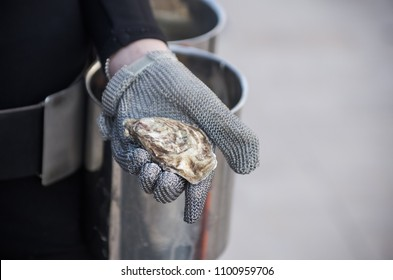 Hand Holding a Freshly Shucked Oyster with a special glove used to open it while not cutting the hand itself