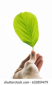 a hand is holding a green leaf with white isolated background.