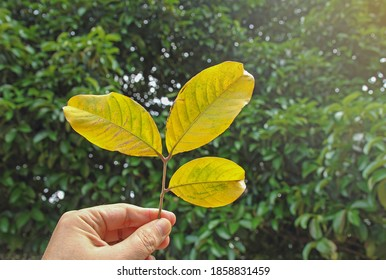 a Hand holding green leaves
