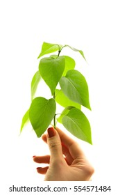 Hand holding a green new young branch or a seedling of a tree plant isolated on white background