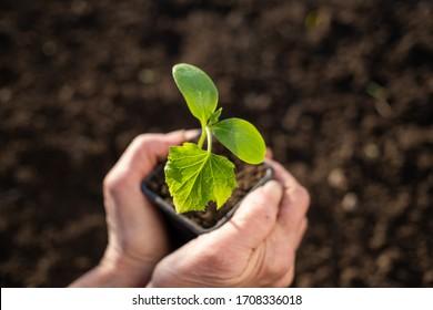 hand holding green seedling spring gardening
