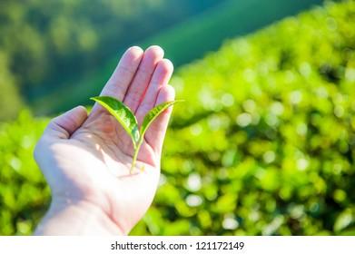 Hand holding green tea leaf