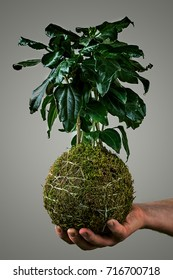 Hand holding a hibiscus kokedama on a grey background