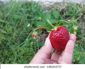 Hand holding homegrown ripe strawberry recently harvested