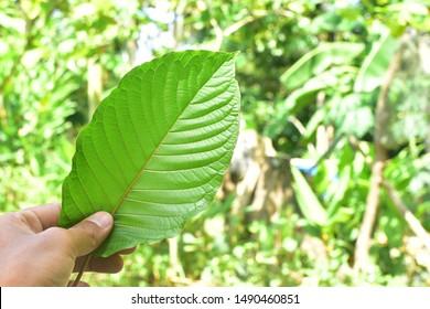 hand holding Kratom (Mitragyna speciosa) Mitragynine on green nature background. Drugs and Narcotics.Kratom is Thai herbal which encourage health.