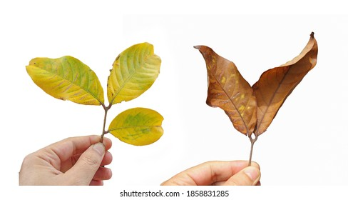 Hand holding  leaves isolated on white background,concept an environment