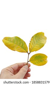 Hand holding leaves isolated on white background