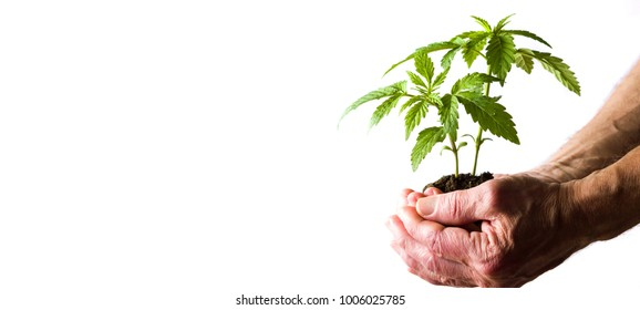 Hand holding marijuana leafs with root growing from ground
