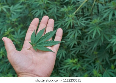 Hand holding a medical marijuana leaf in front of a cannabis bush