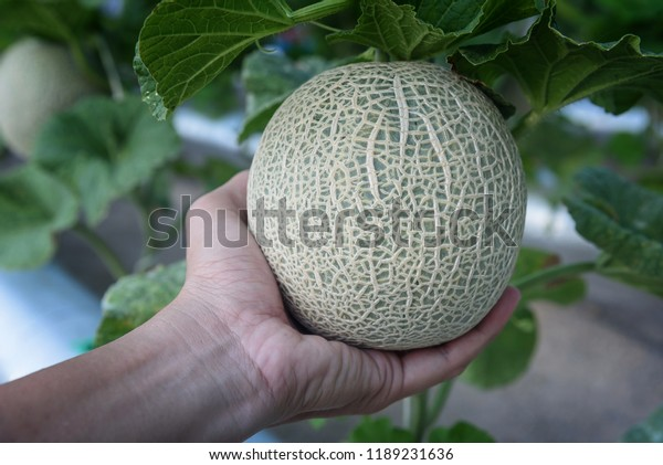 Hand Holding Melons Green Melons Cantaloupe Stock Photo Edit Now 1189231636 These are grown only in europe where the population easily makes the distinction between. shutterstock