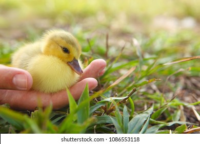 Hand holding newborn baby Muscovy duckling - vulnerability concept
