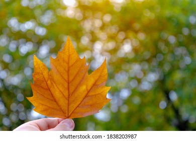 Hand holding on single orange brown leaf of Acer saccharum with soft sunlight in the afternoon, Dried leaves with blurred tree as backdrop and free copyscape for your text, Nature autumn background.