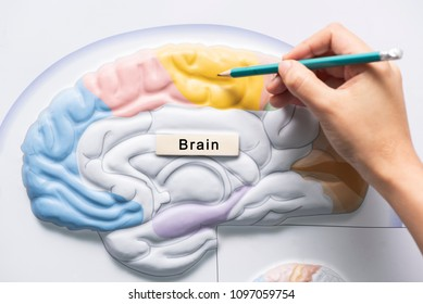 A hand holding pencil to teach human brain anatomy