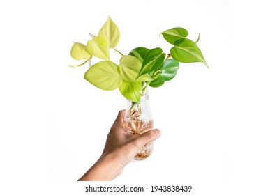 Hand holding Philodendron Hederaceum Brasil in glass bottle with isolated white background