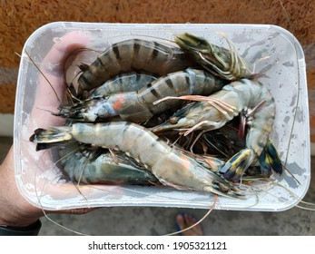 A hand holding a plastic container of fresh tiger prawn.