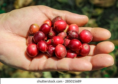 Hand Holding Red Coffee Beans During Harvest