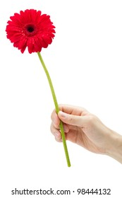 Hand holding red gerber daisy isolated on white