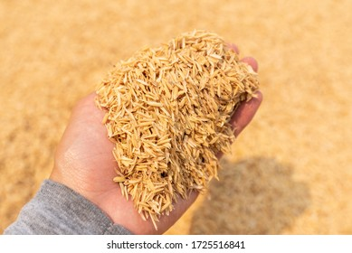 Hand Holding Rice Husk Background