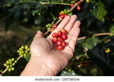 Hand holding ripe coffee bean,Worker harvest Arabica Coffee Bean from coffee Tree