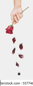 Hand holding rose flower with dried falling petals, abstract love concept