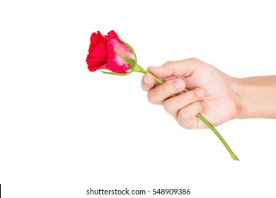 Hand holding rose flower, isolated on white background