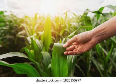 hand holding sapling corn in farm with sunset. concept agriculture