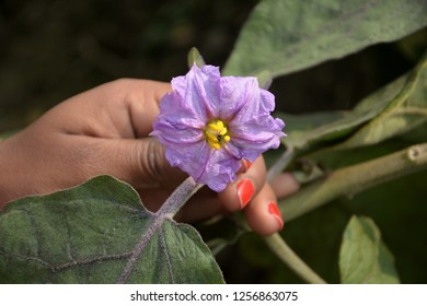 A hand holding and showing a brinjal/ Eggplant/ Aubergine flower with green leaves and blur background