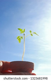 hand holding a small potted tomato plant in front of blue sky